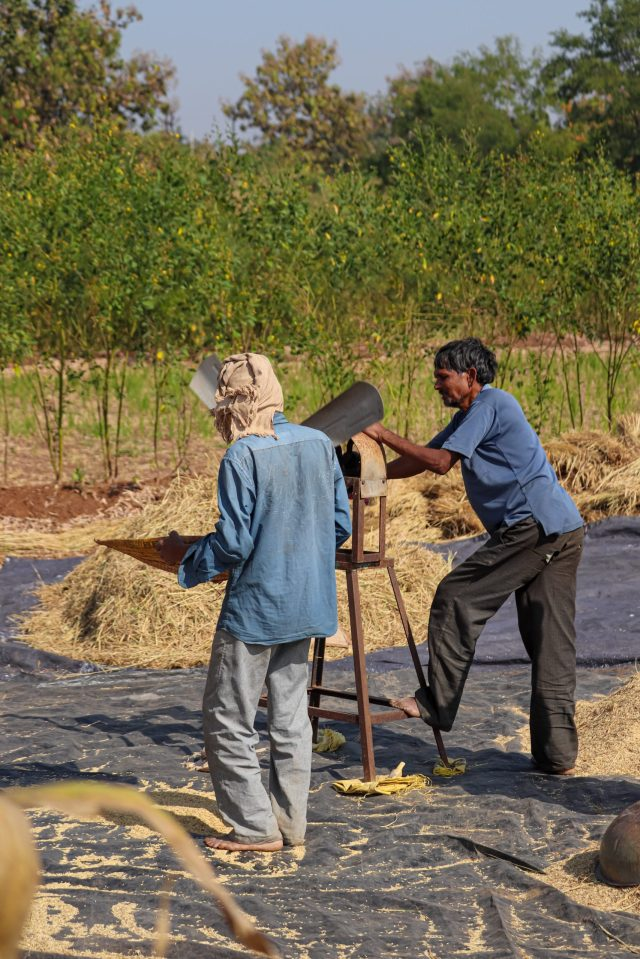 Farmers filtering their cereals