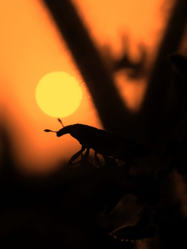 Silhouette of Insect