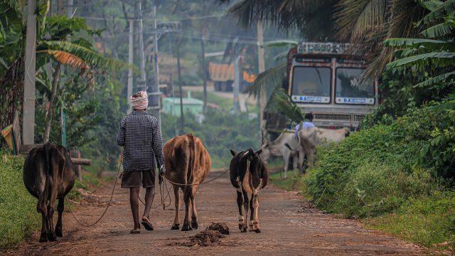 Man walking his cows
