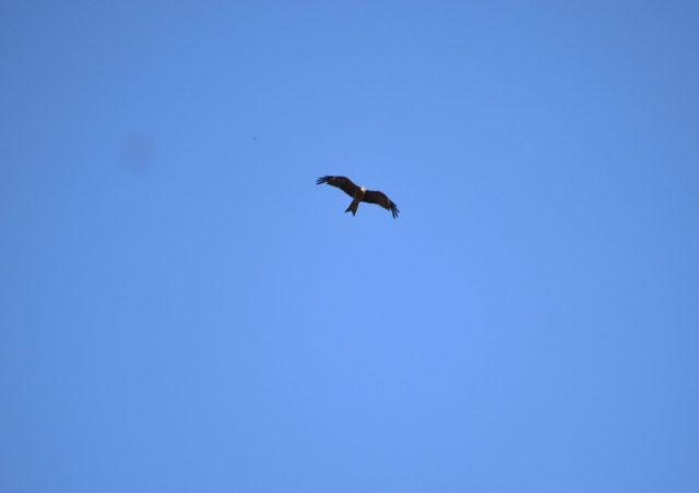A flying eagle