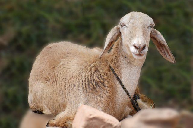 A pet goat