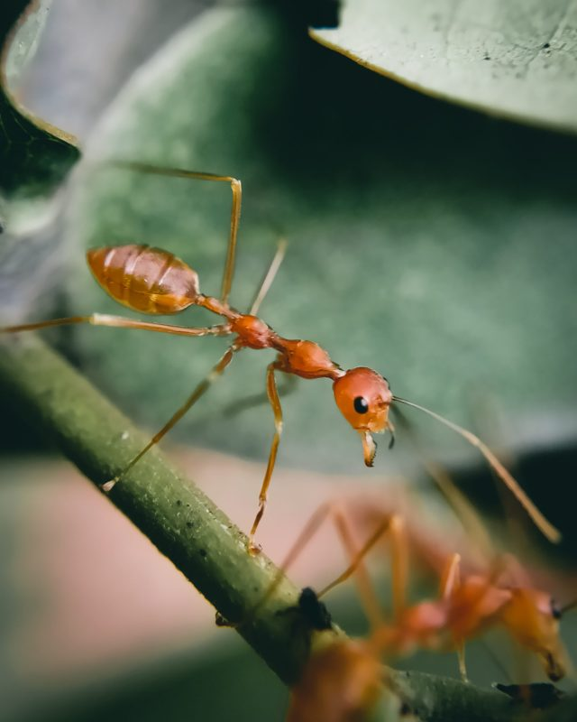 A red ant on plant leaf