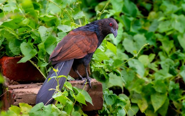 Coucal bird