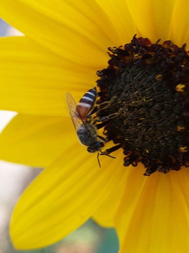 Honey bee on sunflower