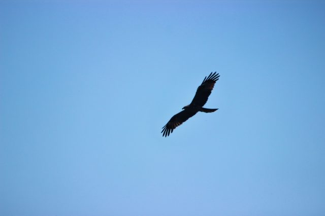 Indian Black Kite