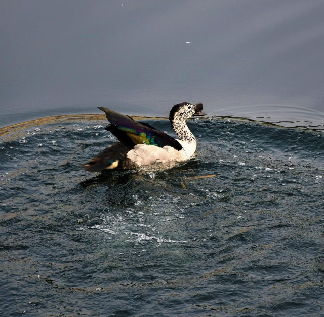 Knob Billed Duck in the water