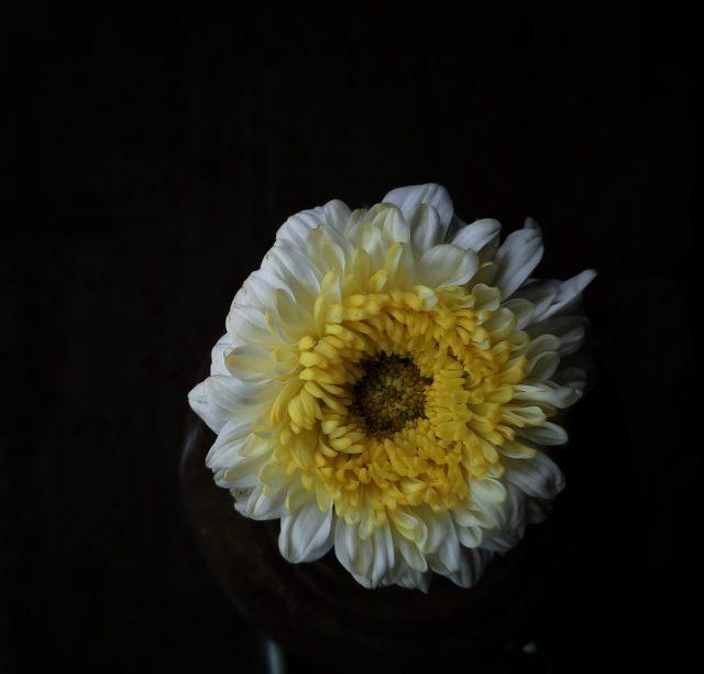 Marigold white flower