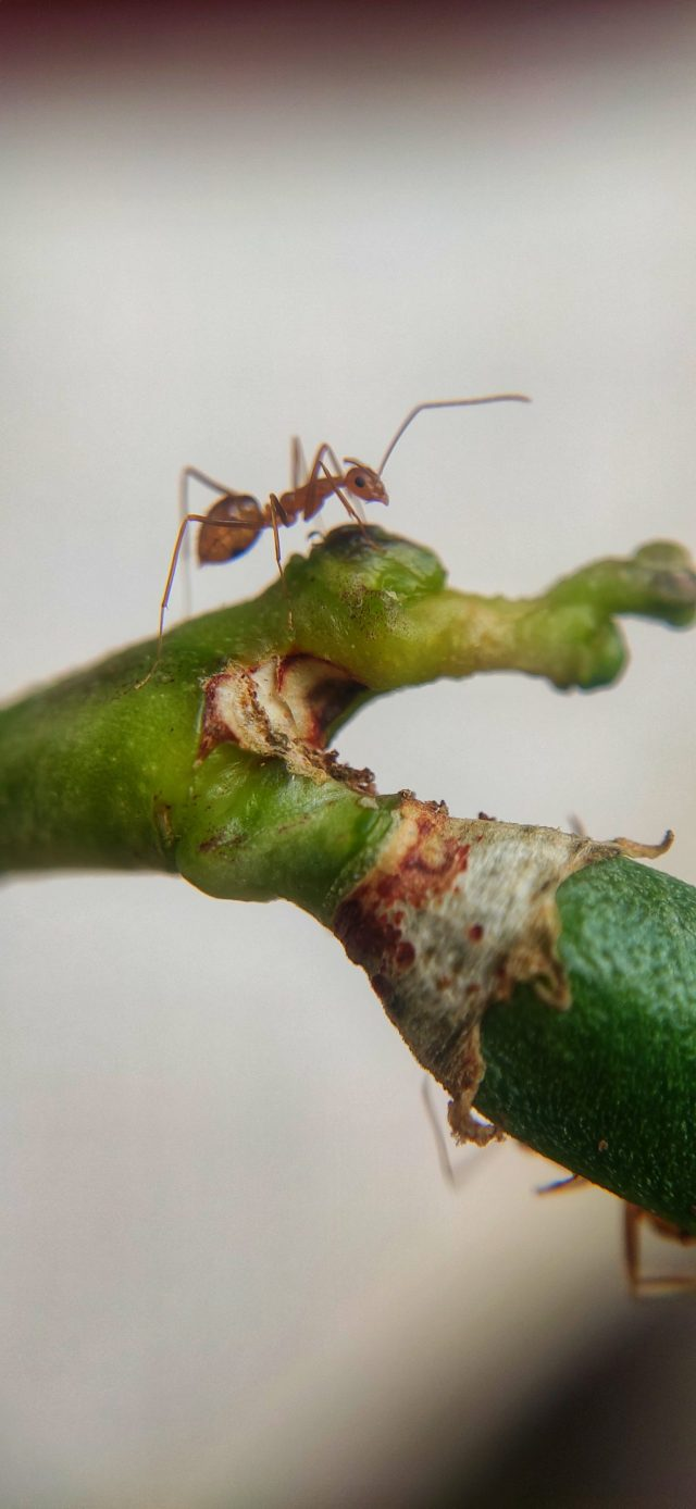 Red ant on a plant