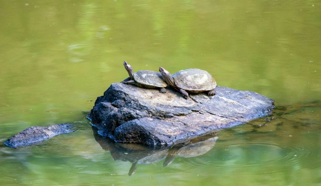 Turtles on rock