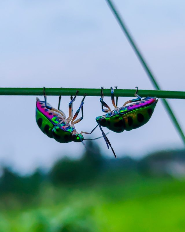 Two colorful beetle on a branch