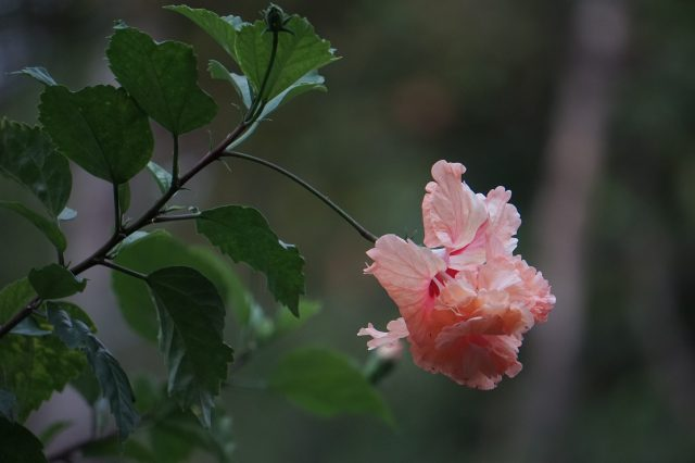 blooming pink flower