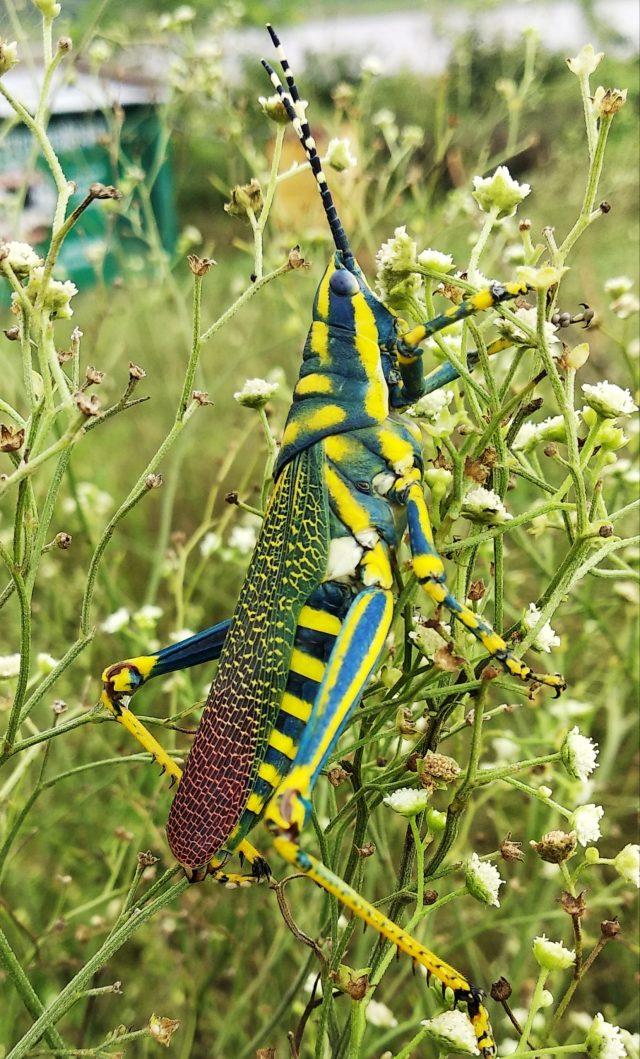 Grasshopper sitting on a Stem
