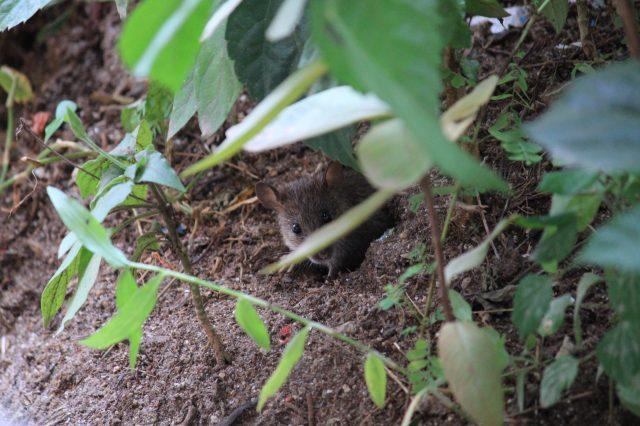 rat hiding behind a tree