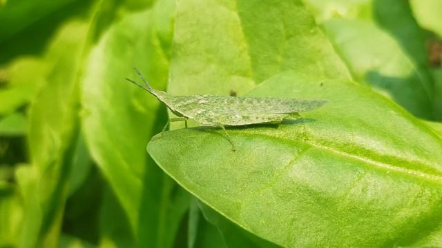 Green grasshopper on leaf