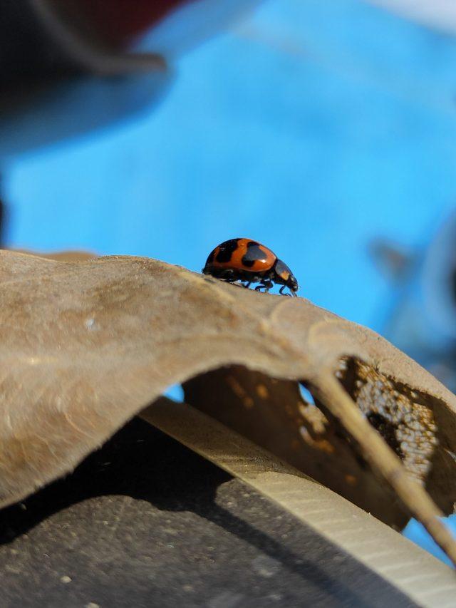 Red bug on dry leaf