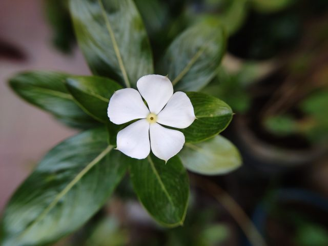 White flower of a plant
