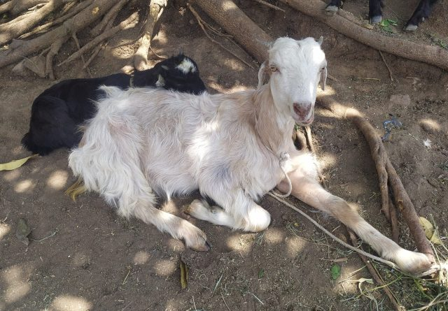 Goats in the farm