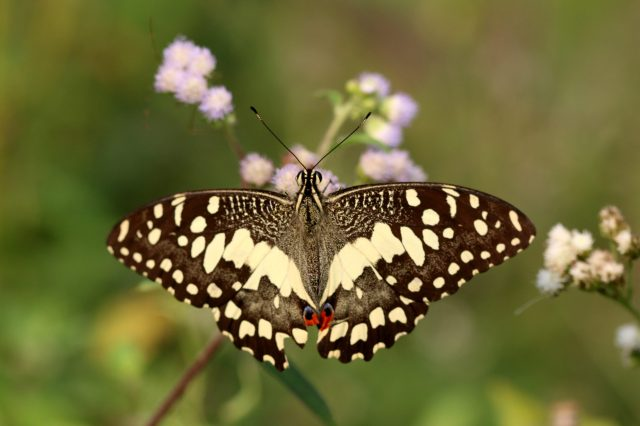 Lime butterfly on a flowering plant