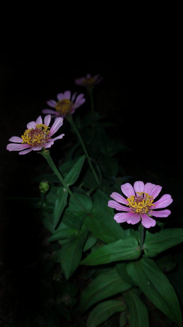 Flowers of Gerbera