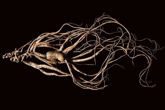 Image Result For What Is Ginseng Used For In Appalachian Outlaws