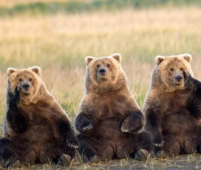 Three Fat Bears
