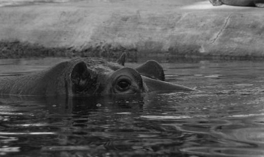 Nilpferd im Berliner Zoo