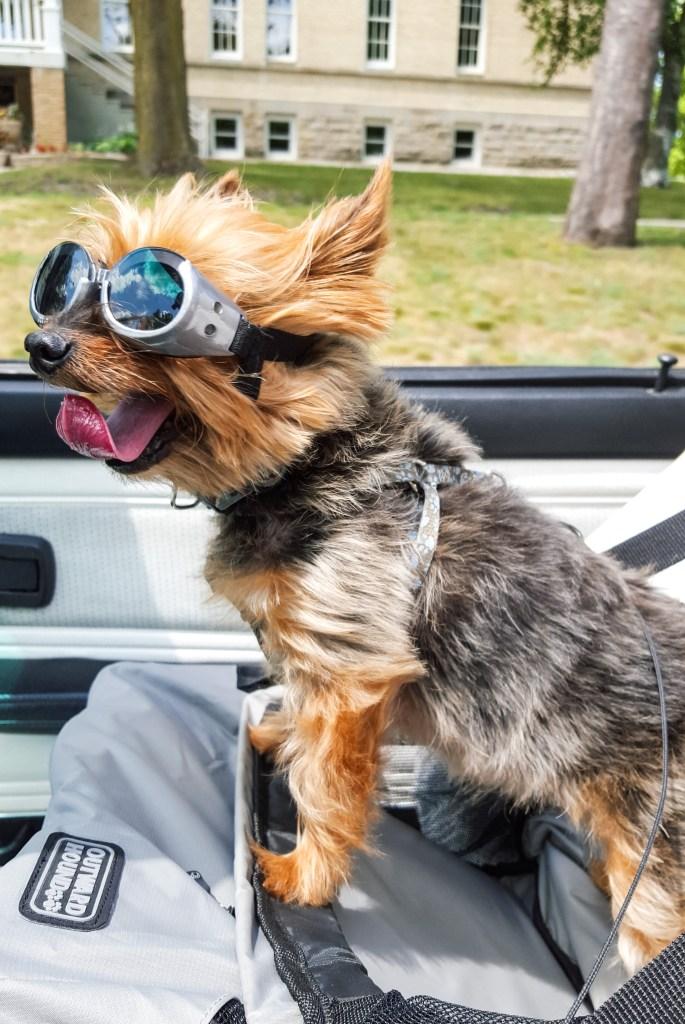 dog car ride doggles