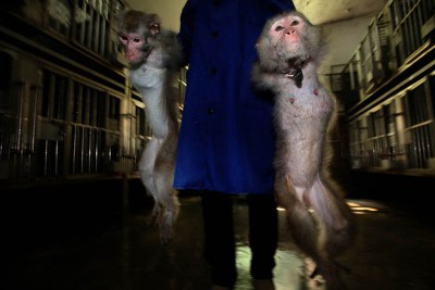 Experimental monkeys made in China