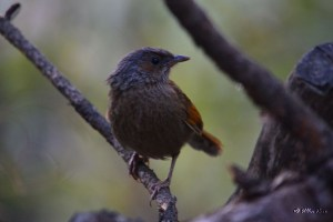 Laughing thrush in Kausani