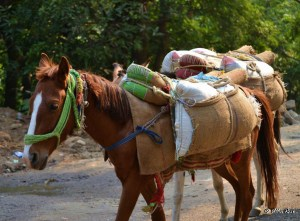 Mules in Uttarakhand transport everything from bricks to groceries