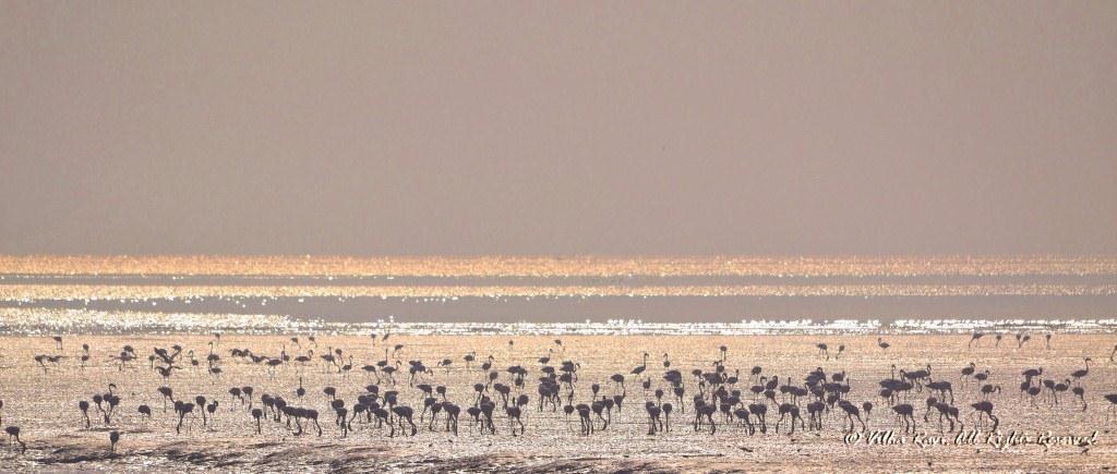 Flamingos at Sewri