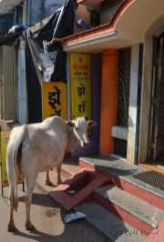 Cow outside restaurant in Malvan