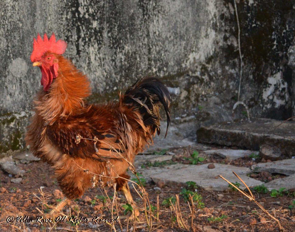 Indian Cock or rooster