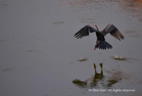 An Oriental Darter takes off