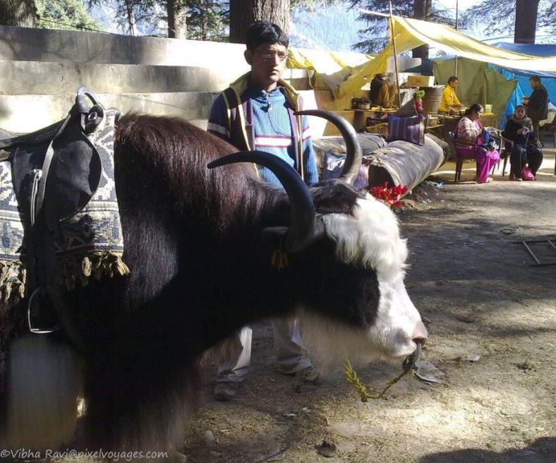 Indian Yak