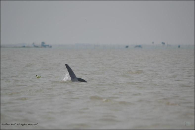 Dolphin tail at Chilka lake