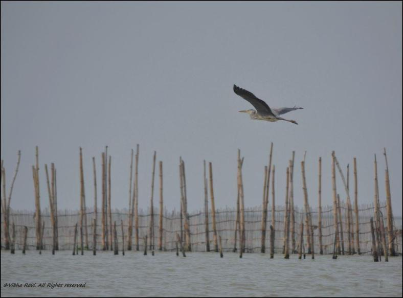 Heron flying over Chilika Lake
