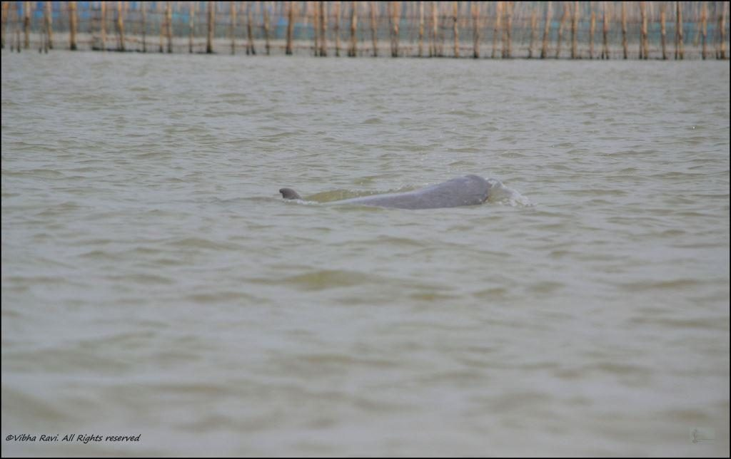 Partly visible Irrawaddy Dolphin
