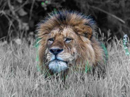 The Masai lion or East African Lion, is a lion subspecies. Its mane looks like it's been combed back