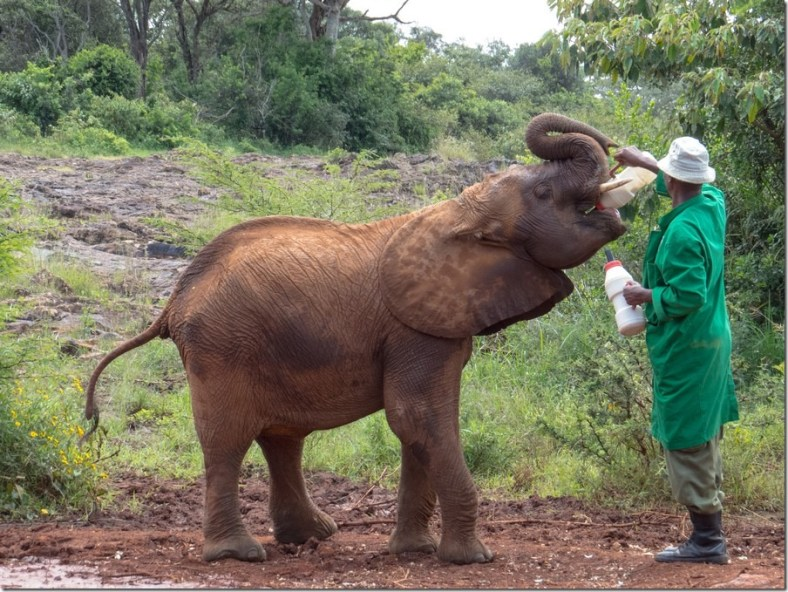 A baby elephant drinks milk at the Nairobi Orphanage. Image credit: www.Fourjandals.com