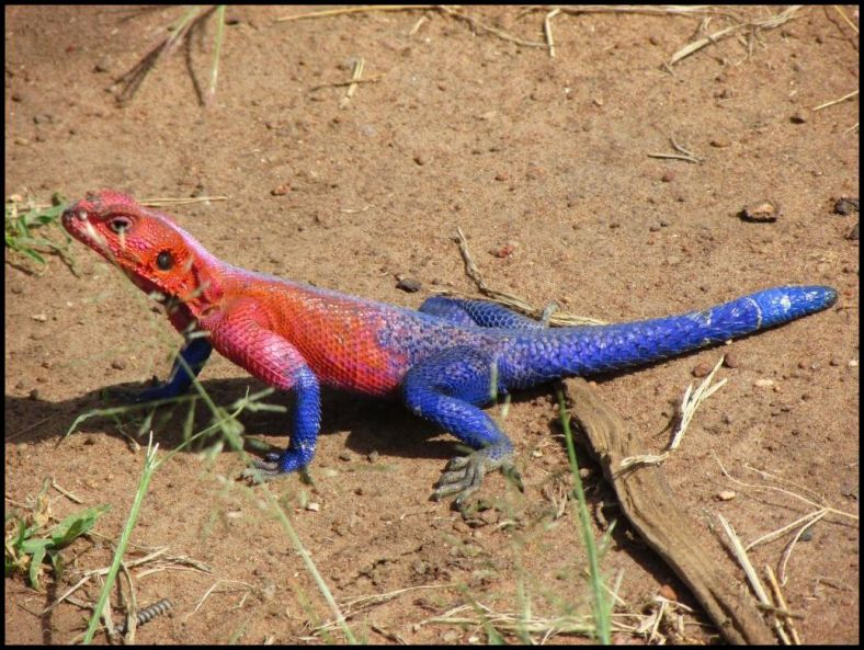 An Iguana lends color to the brown Serengeti landscape