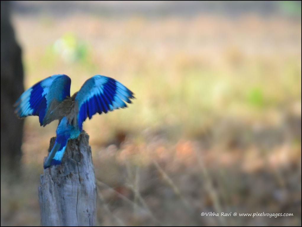 Indian roller bird at Kanha National Park. The males dive from the sky, flashing their wings, in a bid to attract females