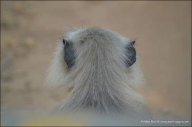 The fuzzy head of a 'Langur' or black monkey. You'll find them all over Kanha National Park