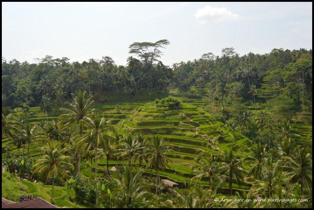 Lush green rice terraces at Ubud