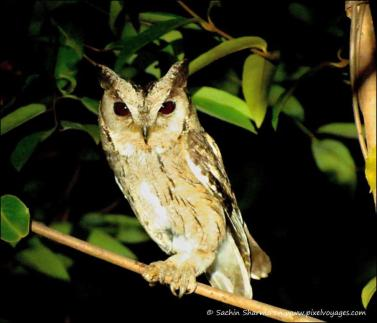 The Indian Scops Owl has small ears or head tufts. Upper parts are grey or brown and underparts are buff. Pic by Naturalist Sachin Sharma