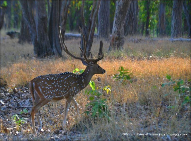 Spotted deer at Kanha National Park