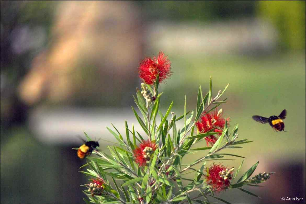 Bees hover around a bottle brush plant