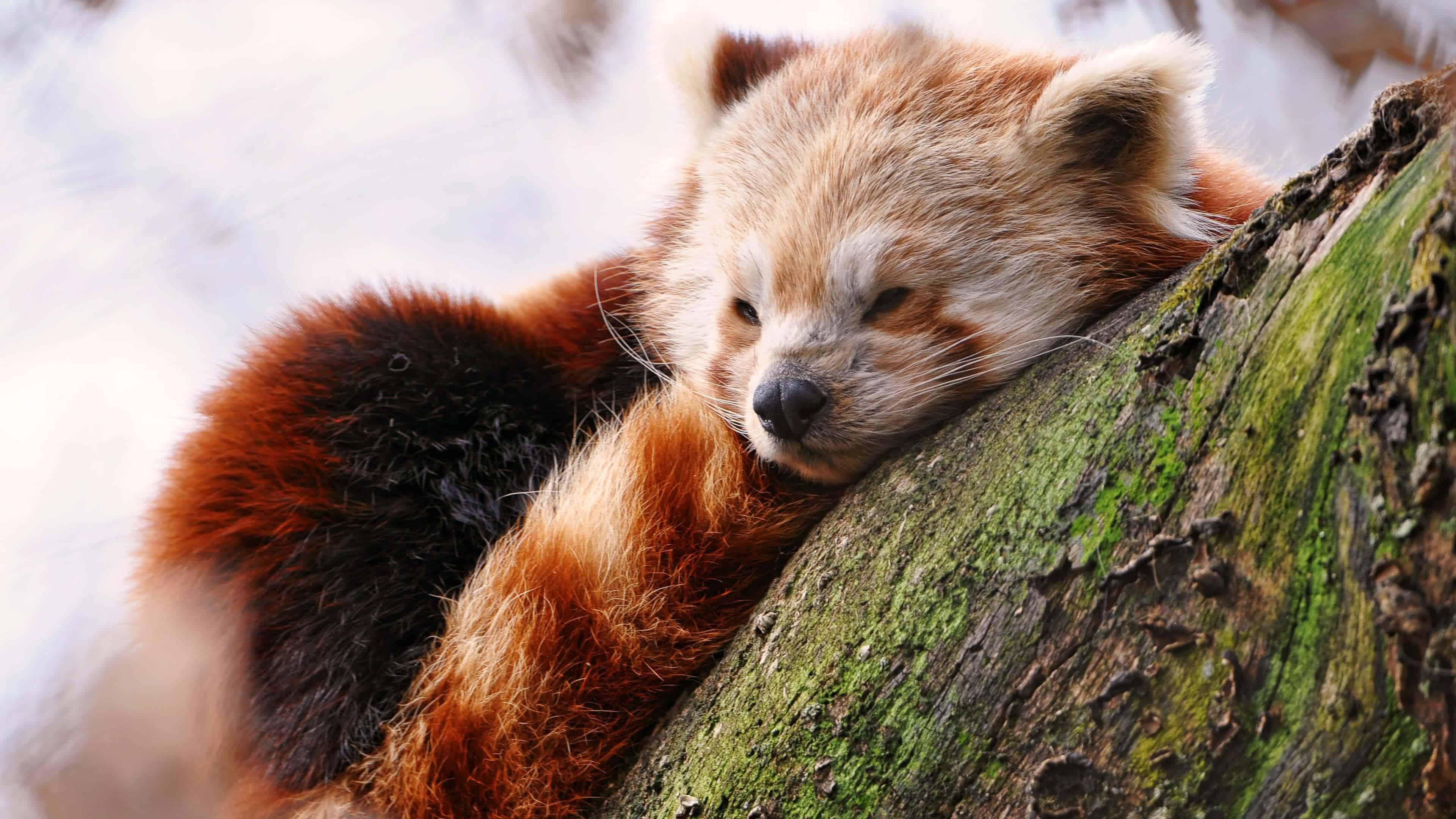baby red panda uhd 4k wallpaper | pixelz