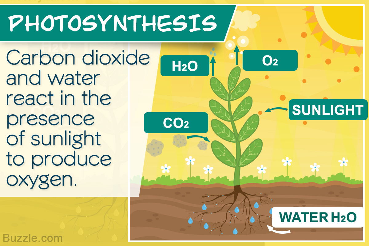 Photosynthesis Process For Kids Simplified For Easy Understanding Biology Wise
