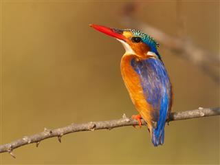 Malachite kingfisher The Gambia